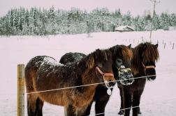 häst 024