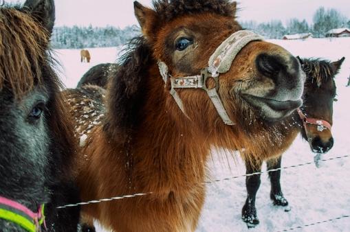 häst 037
