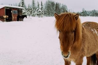 häst 051