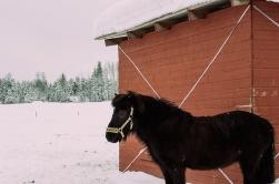 häst 077